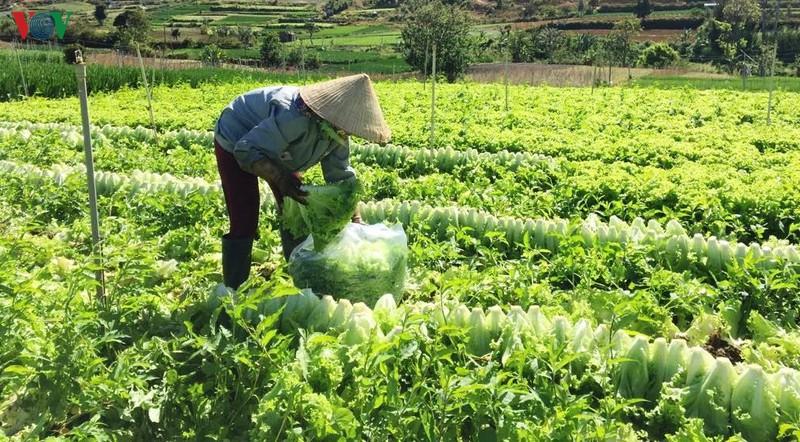 Lâm Đồng: Nhà vườn mất Tết vì rau rớt giá (15/1/2020)