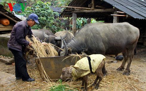 Các địa phương triển khai biện pháp phòng chống rét cho gia súc nhằm giảm thiệt hại (10/2/2020)