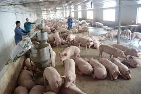 Hướng dẫn tái đàn lợn đảm bảo an toàn (24/3/2020)