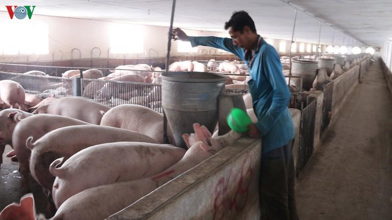 Hà Nội đẩy mạnh tái đàn lợn, gắn với an toàn dịch bệnh (25/4/2020)