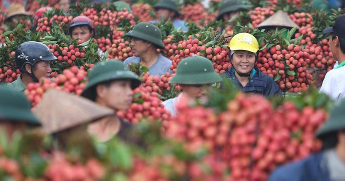 THỜI SỰ ĐÊM 21H30 17/6/2020: Tín hiệu vui cho người trồng vải các tỉnh Bắc Giang và Hải Dương khi lượng vải tươi xuất khẩu sang Trung Quốc qua cửa khẩu Tân Thanh, tỉnh Lạng Sơn tăng từng ngày