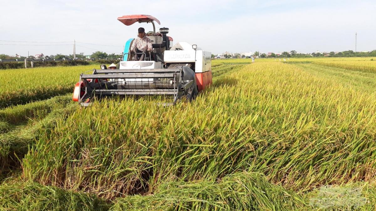 Thái Bình: Vượt khó khăn, dịch bệnh -  lúa xuân được mùa (18/6/2020)