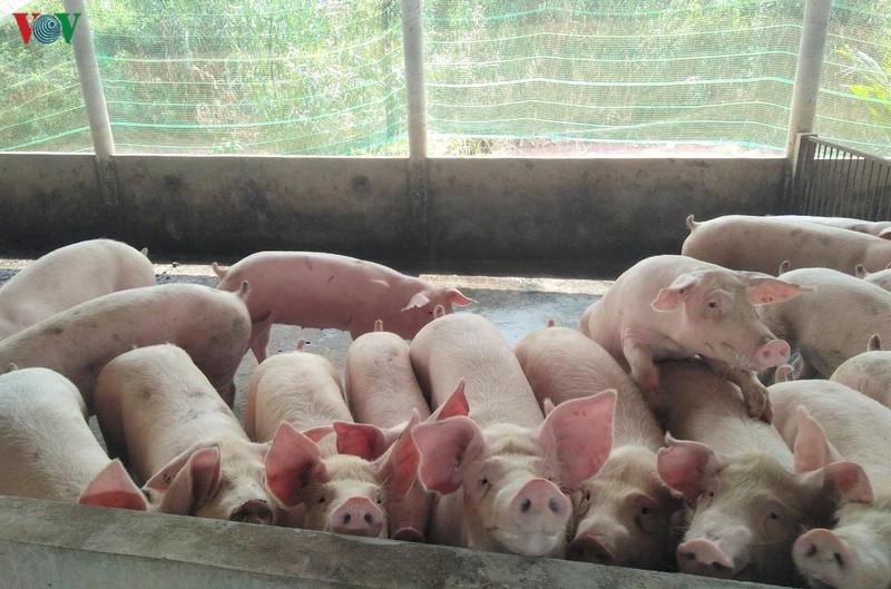 Lợn sống nhập khẩu từ Thái Lan: Từng bước bình ổn giá lợn thị trường trong nước (22/06/2020)