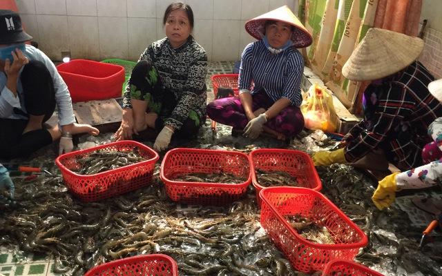 Kiên Giang phát hiện cơ sở đưa tạp chất vào tôm nguyên liệu (14/7/2020)