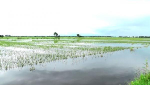 Sóc Trăng: Hàng trăm ha lúa có nguy cơ mất trắng do mưa lớn (7/8/2020)