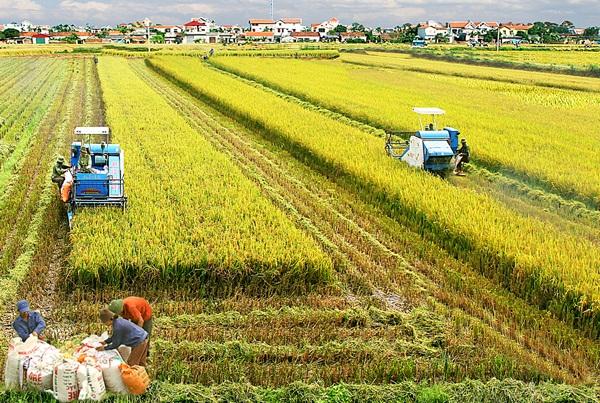 Vụ mùa 2020: Vĩnh Phúc bội thu với giống lúa thuần chất lượng cao (12/09/2020)