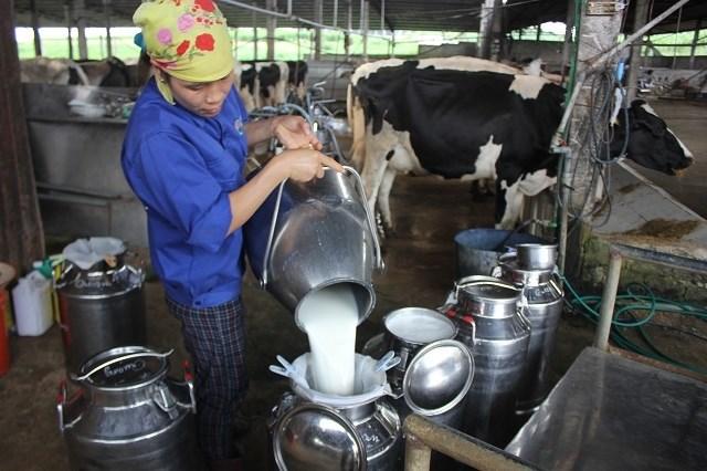 Duy Tiên, Hà Nam: Phát triển chăn nuôi bò sữa xóa đói giảm nghèo (19/11/2020)