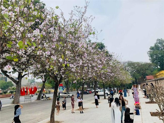 Say đắm sắc hoa ban Tây Bắc giữa lòng Hà Nội (24/2/2021)