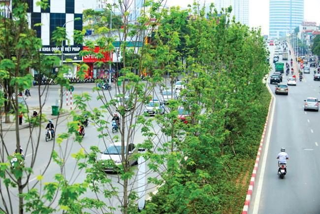 Hà Nội quyết định thay thế cây phong cũng chóng vánh như khi trồng (07/04/2021)