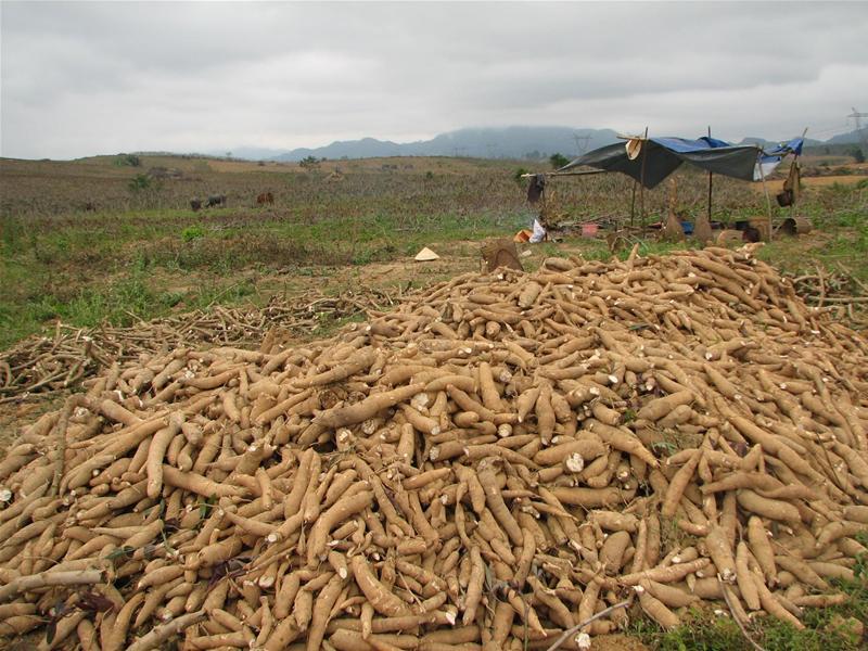 Theo dòng thời sự ngày 17/3/2015: Tranh chấp thu mua nguyên liệu sắn ở Thanh Hóa – Đâu là sự thật?