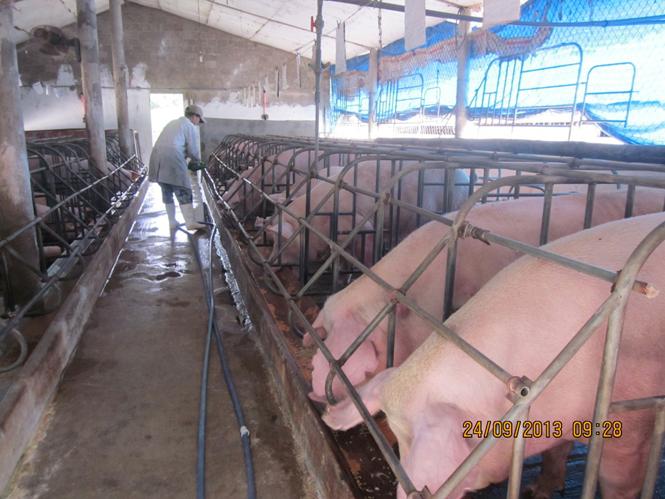 Nông nghiệp và nông thôn ngày 13/11/2014: Làm giàu từ mô hình chăn nuôi lợn khép kín của thanh niên 9X ở huyện Đông Hòa, tỉnh Phú Yên