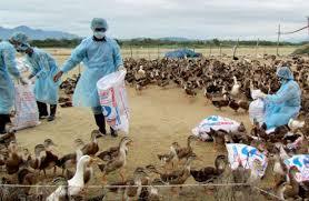 Bộ Y tế cảnh báo về nguy cơ dịch cúm gia cầm xâm nhập, lây lan và bùng phát ở nước ta. (Thời sự sáng 13/11/2015)