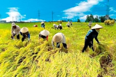 Việt Nam được lựa chọn để trở thành một trong những quốc gia đầu tiên thực hiện thí điểm bộ tiêu chí Chuẩn mực về sản xuất lúa gạo bền vững (Thời sự sáng 8/11/2015)