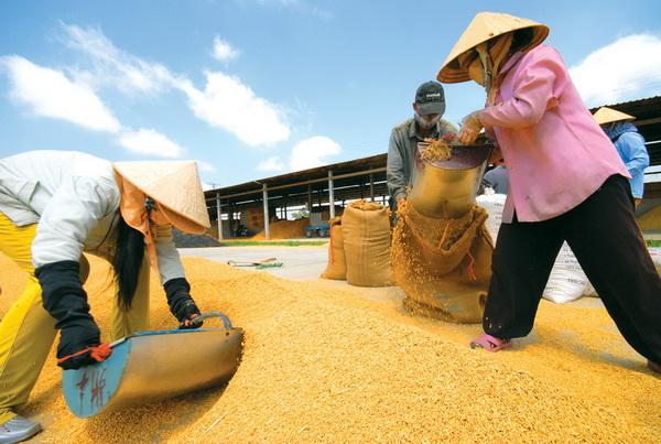 Tiêu thụ lúa tại Đồng bằng sông Cửu Long – vẫn khó nhiều bề (Nông nghiệp và nông thôn ngày 26/7/2015)