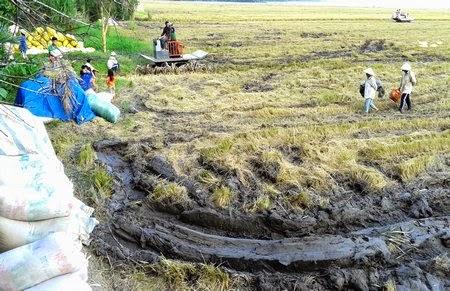 Sóc Trăng nhiều thương lái bẻ kèo vì lúa rớt giá – nông dân gặp khó trong tiêu thụ (Thức cùng sự kiện ngày 12/8/2015)
