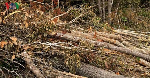 Có hay không lợi ích nhóm trong các vụ chặt phá rừng trái phép và phù phép rừng nguyên sinh sang rừng nghèo kiệt để chặt phá (22/8/2016)