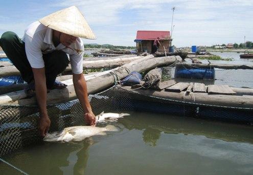 Cơ quan chức năng tỉnh Thanh Hóa đang xác minh làm rõ hiện tượng cá nuôi lồng bè chết bất thường tại xã đảo Nghi Sơn, huyện Tĩnh Gia  (Thời sự đêm 9/9/2016)