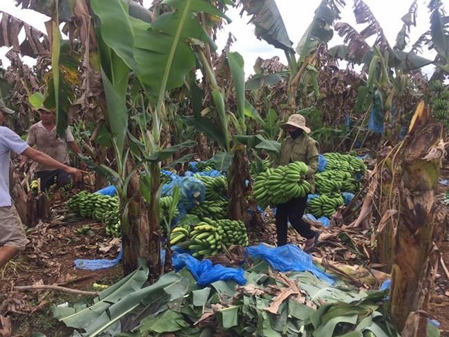 Lại giải cứu nông sản rớt giá (22/2/2017)