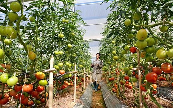 Nông nghiệp sạch góp phần nâng cao thu nhập (27/6/2017)