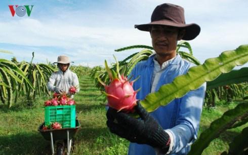 Việt Nam trở thành nước đầu tiên và duy nhất được cấp phép nhập khẩu thanh long tươi vào Australia (Thời sự sáng 28/8/2017)