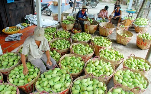Xuất khẩu xoài sang Úc, mở đường cho trái cây Việt (24/8/2017)