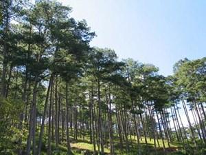 Lâm Đồng phê duyệt khai thác gần 750 ha rừng trồng thông 3 lá, khẳng định không gây hại đến môi trường (13/9/2017)