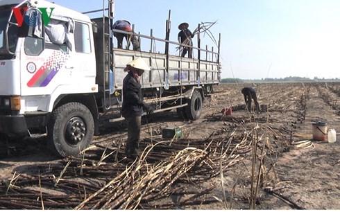 Đồng Nai: Người trồng mía điêu đứng vì mía cháy (15/3/2018)