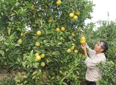 Giải pháp trồng cam theo tiêu chuẩn VietGap (27/11/2019)