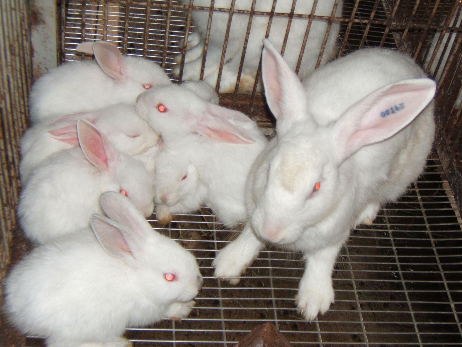 Chăn nuôi thỏ trắng New Zealand  theo hình thức bán công nghiệp (29/9/2019)