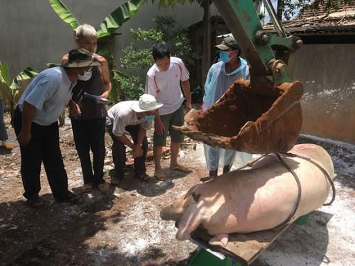 Đắc Lắc: nỗ lực ngăn chặn dịch tả lợn Châu Phi bùng phát (21/11/2020)