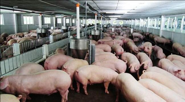 Giá lợn tăng kỷ lục: cần nhìn lại cách quản lý, điều hành (30/5/2020)