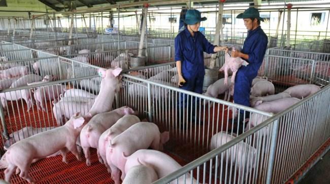 Đẩy mạnh chăn nuôi an toàn sinh học – hạn chế dịch bệnh trên gia súc (12/10/2021)