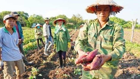 Giá khoai lang Vĩnh Long xuống chạm đáy, nông dân trắng tay (4/6/2021)