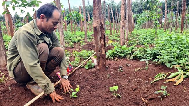 Hồ tiêu Gia Lai tăng giá, nông dân bắt đầu trồng trở lại (22/6/2021)