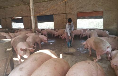 Bắc Giang: ngăn chặn gần 2 tấn lợn mắc bệnh
