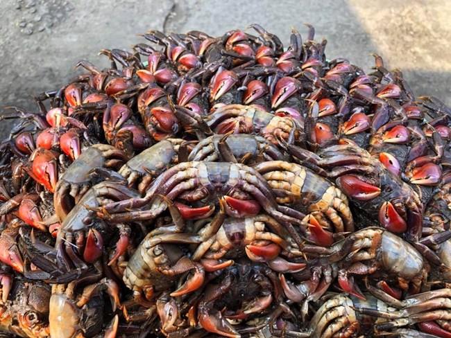 Nghề muối Ba khía ở tỉnh Cà Mau (27/7/2021)